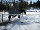 Зимнее содержание лошадей_5